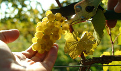 Why Riesling?